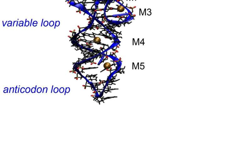 Magnesium contact ions stabilize the macromolecular structure of transfer RNA