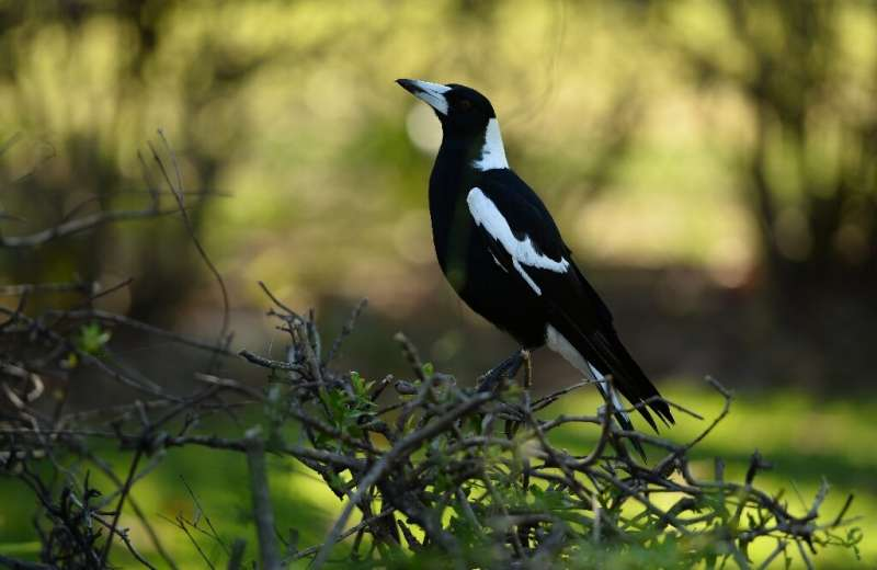 Magpies in Australia are best known for swooping on cyclists duringspring