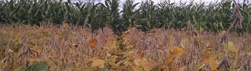 Maize outpaces soybeans in fighting off fungal invasions
