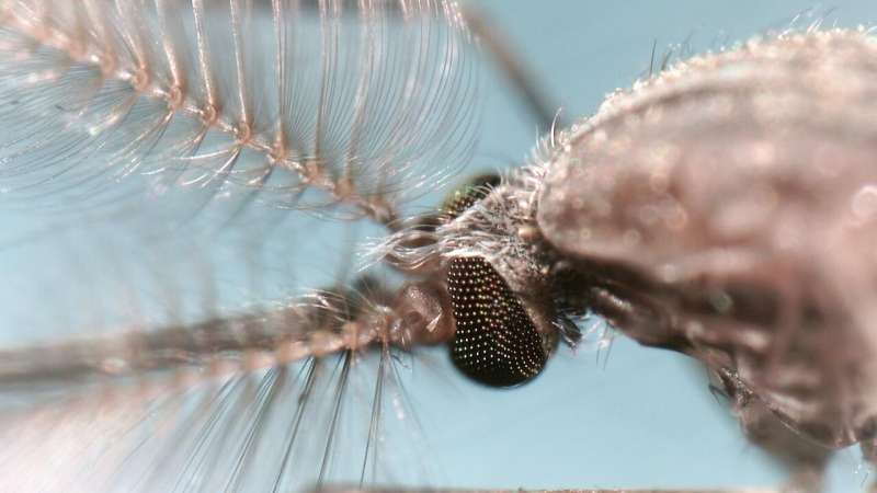 Malaria mosquitoes eliminated in lab by creating all-male populations