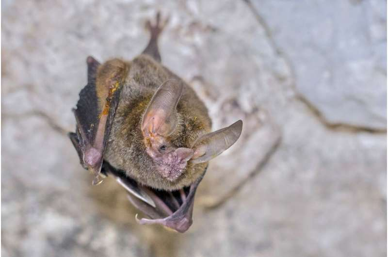 Male bats with high testosterone levels have large forearm crusts when females are fertile