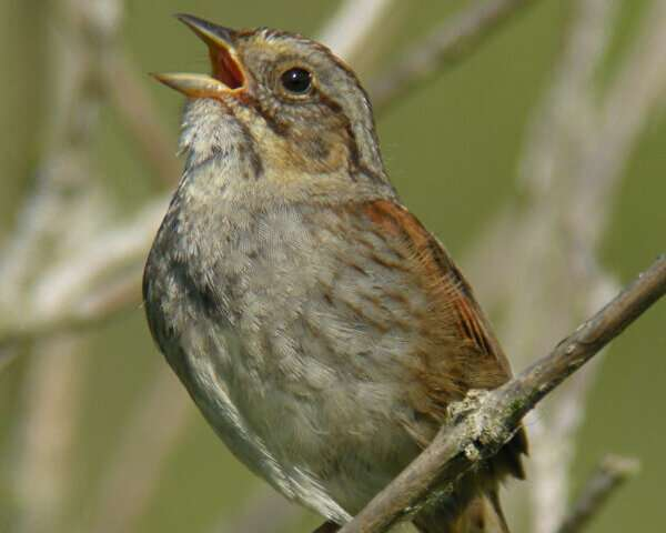 Male sparrows are less intimidated by the songs of aging rivals