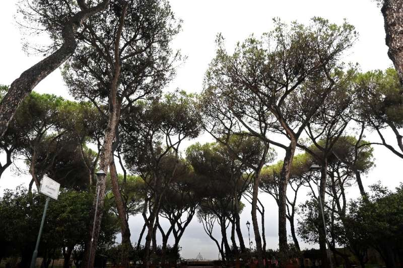 Many pines in the southern region of Campania that includes Naples have already succumbed to the insect invaders, but authoritie