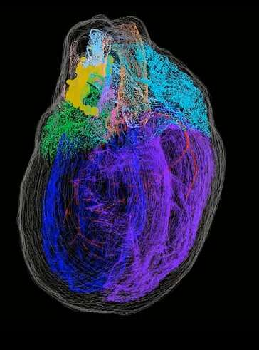 Mapping the neurons of the rat heart in 3D