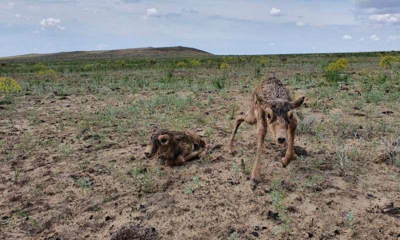 Mass saiga calving sparks hope for a critically endangered species