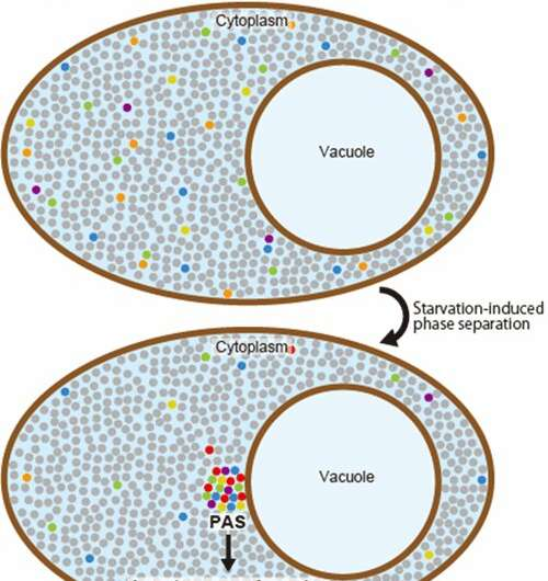 Mechanism of controlling autophagy by liquid-liquid phase separation revealed