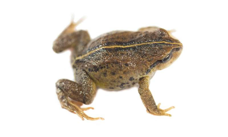 Meet Phrynopus remotum — the world's newest frog to get a name
