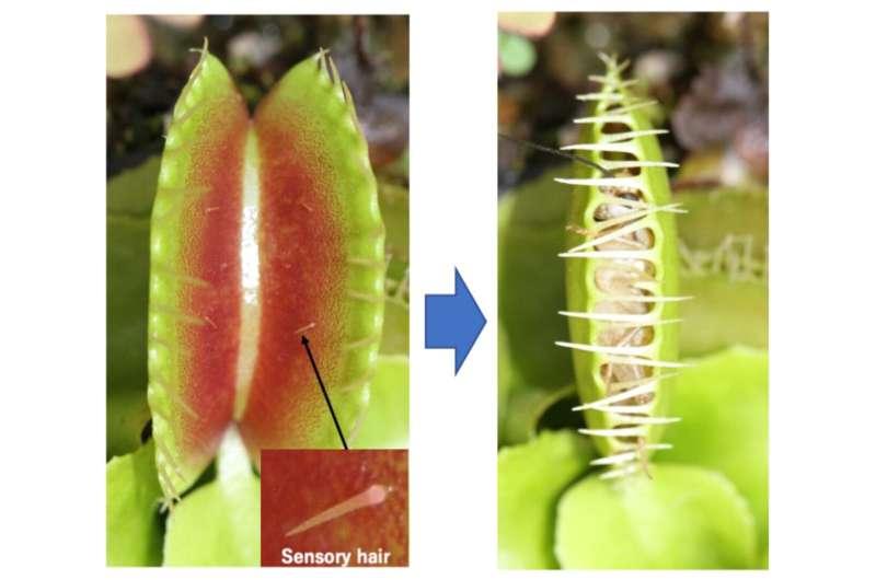 Memory of the Venus flytrap