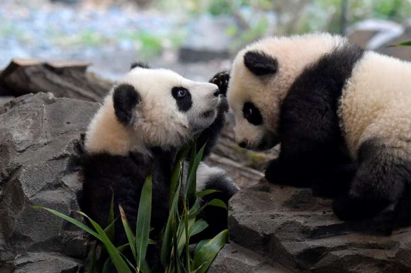 Meng Yuan and Meng Xiang, two Berlin-born Chinese panda cubs, make their public debut on Thursday