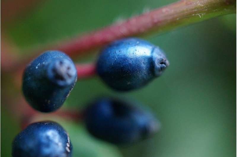 Metallic blue fruits use fat to produce color and signal a treat for birds