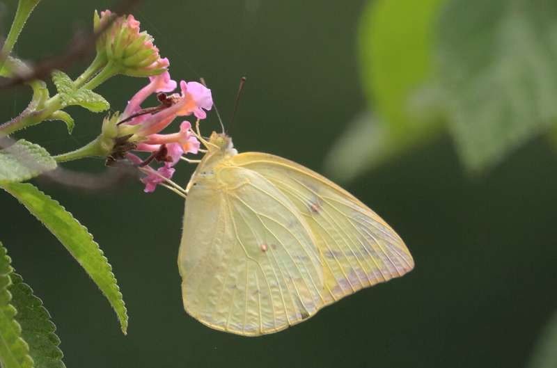 Migration and dispersal of butterflies have contrasting effect on flight morphology