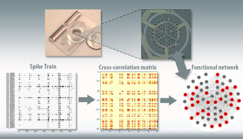 """Modeling neuronal cultures on """"brain-on-a-chip"""" devices"""