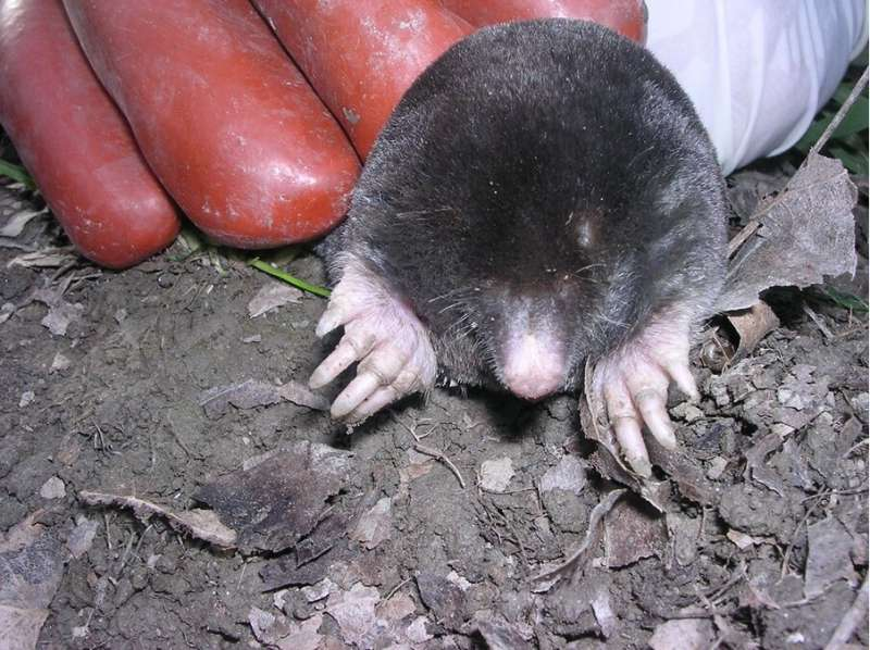 Moles: Intersexual and genetically doped