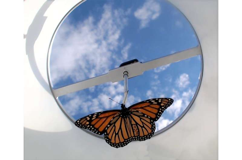 Monarchs raised in captivity may be worse at migrating than wild monarchs raised outdoors