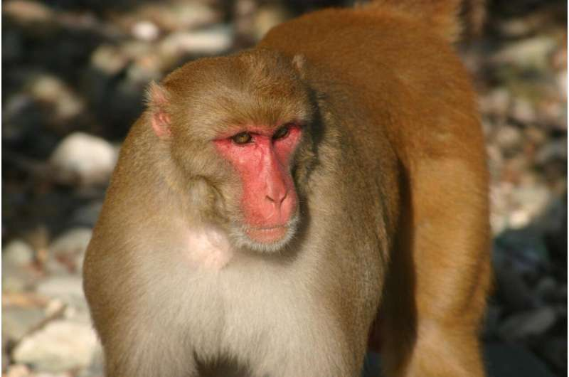 Monkeying around: Study finds older primates father far fewer babies