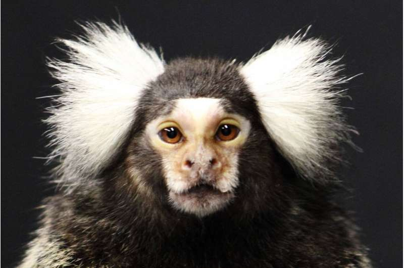 Monkey study suggests that they, like humans, may have 'self-domesticated'
