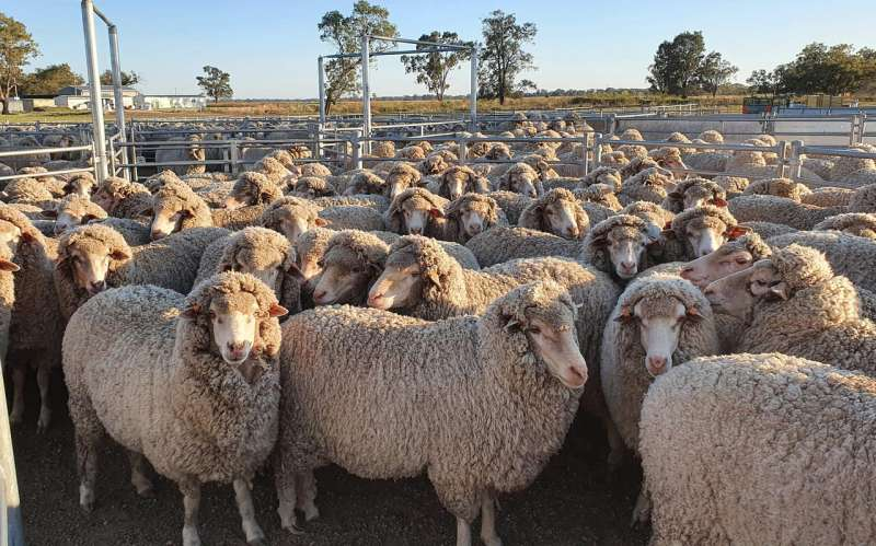 More frequently sheared sheep are happier mothers