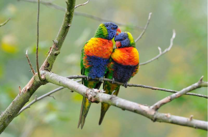 Mosaic evolution painted lorikeets a rainbow of color