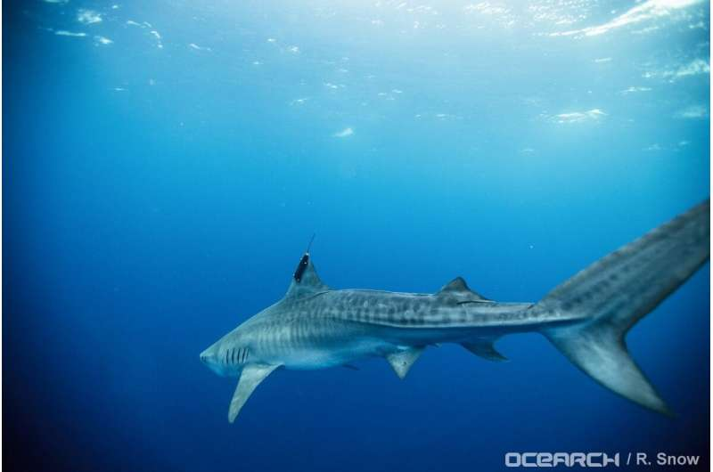 Movements of tiger sharks at varying life stages tracked in Gulf of Mexico
