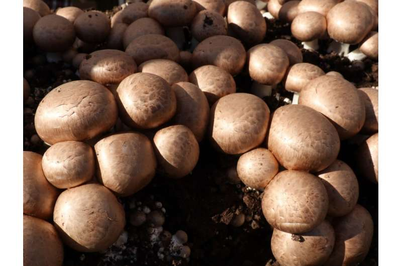 Mushroom cultivation produces three times its weight in waste. It's now being turned into burgers and fertiliser