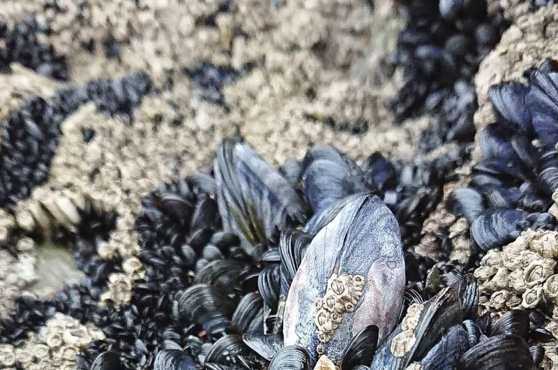 Mussel reefs heighten risk of microplastic exposure and consumption
