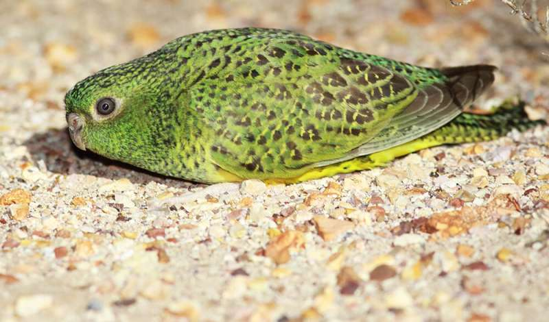 Mysterious Australian Night Parrots may not see in the dead of night