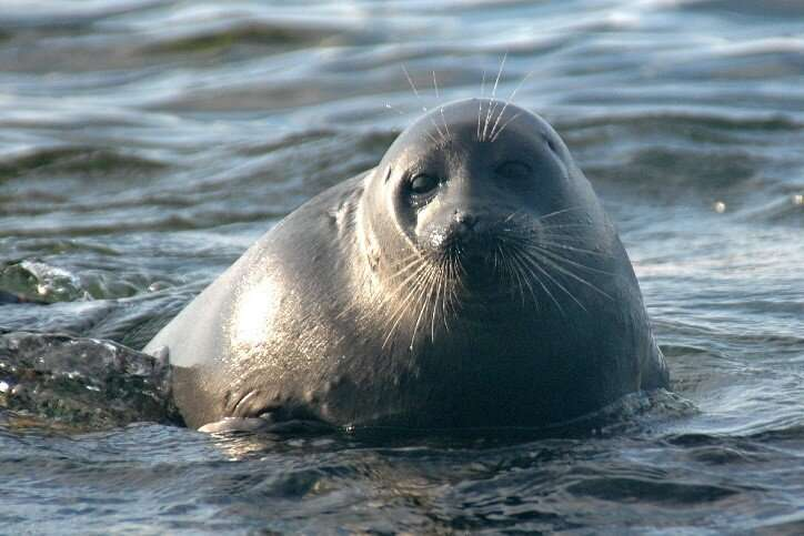 Mystery of Siberian freshwater seal food choice solved