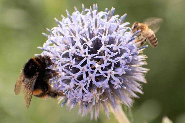 Native bees also facing novel pandemic