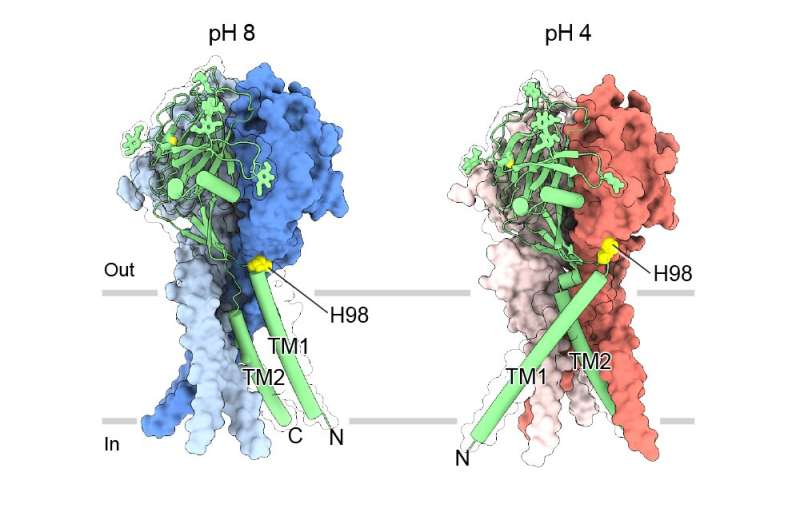 Near-atomic 'maps' reveal structure for maintaining pH balance in cells