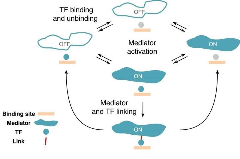 New compact model for gene regulation in higher organisms