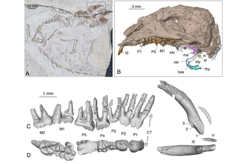 New Cretaceous Jehol fossil sheds light on evolution of ancestral mammalian middle ear