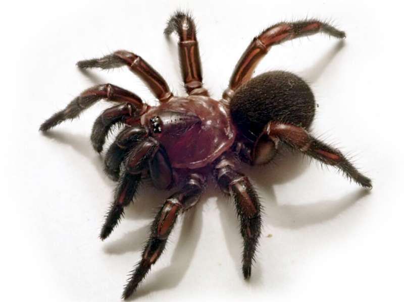 New group of trapdoor spiders discovered in eastern Australia