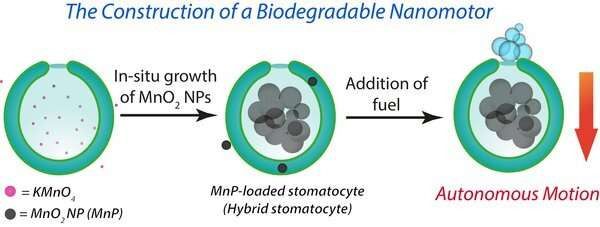 New 'hybrid engine' for biodegradable nanomotors that transport drugs to diseased tissue