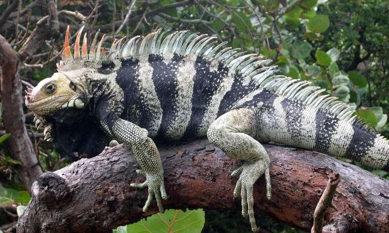 New iguana species found hiding in plain sight