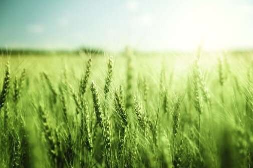 New modified wheat could help tackle global food shortage