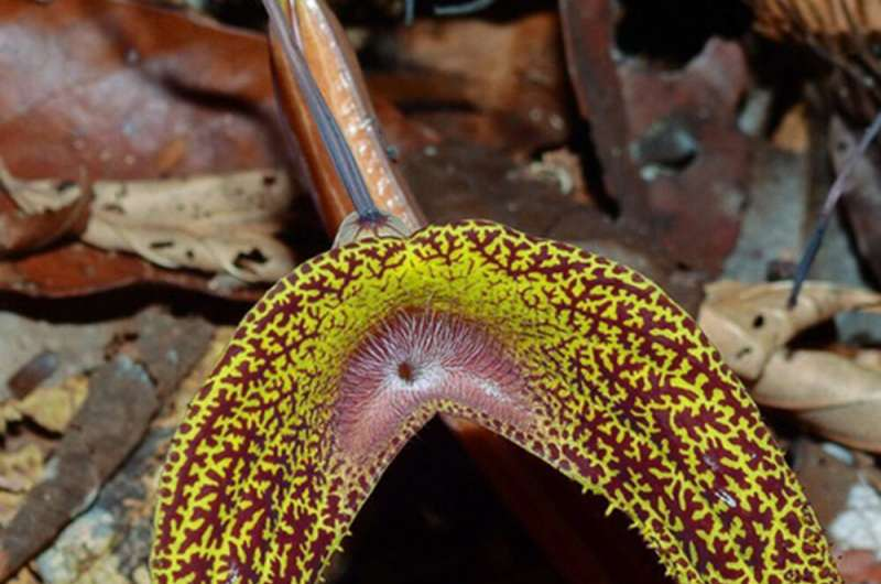 New plant species from Amazonia region named after Dresden botanist