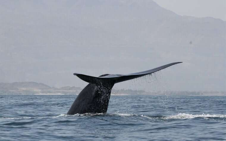 New population of blue whales discovered in the western Indian ocean