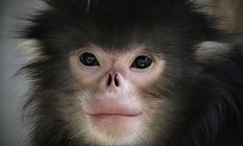 New protected area raises hopes for critically endangered monkey