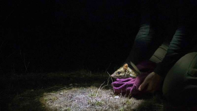 New reintroduction tactics boost eastern quoll survival rate