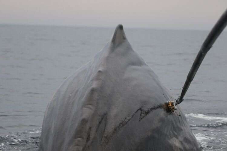 New sonar still deters sperm whales feeding