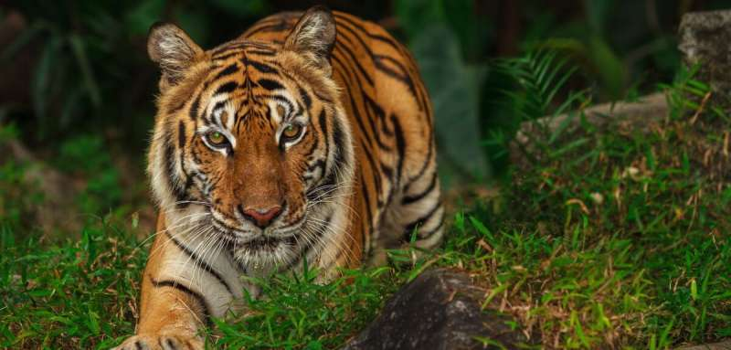 New study confirms the importance of tiger population in Thailand forest complex