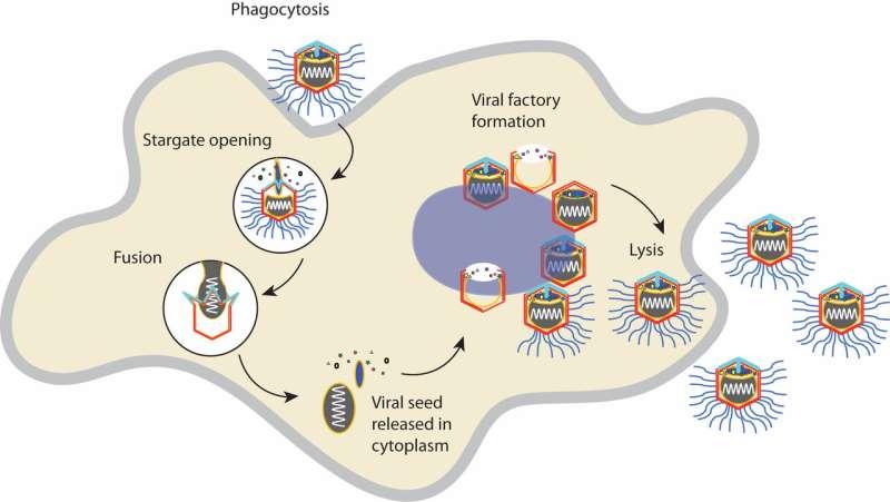New study shines light on mysterious giant viruses