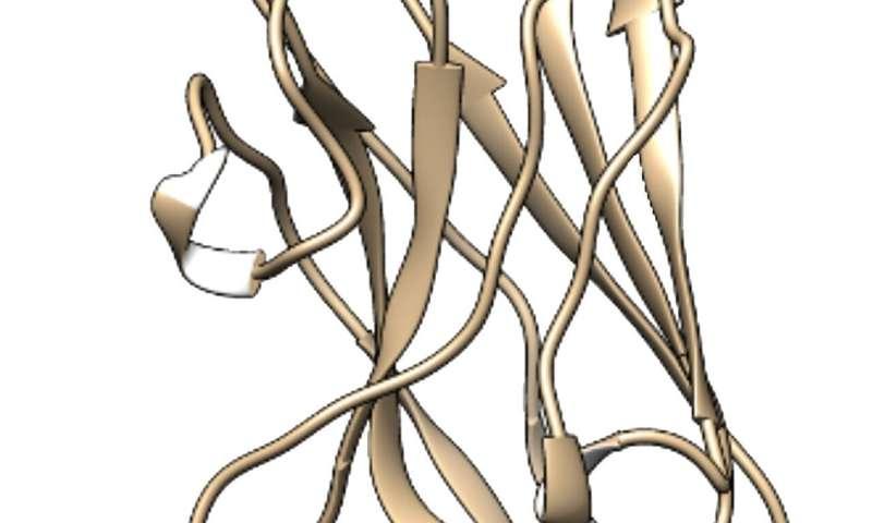 NIH neuroscientists isolate promising mini antibodies against COVID-19 from a llama