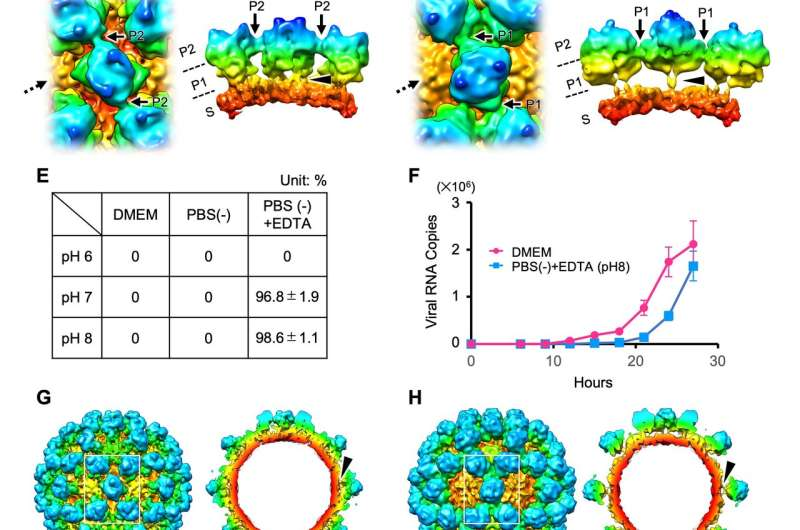 Norovirus has two alternative capsid structures which change before infection