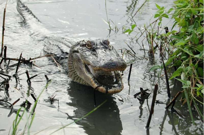 Not just lizards - alligators can regrow their tails too