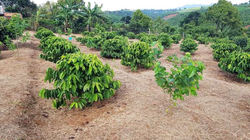 Not so robust: robusta coffee more sensitive to warming than previously thought