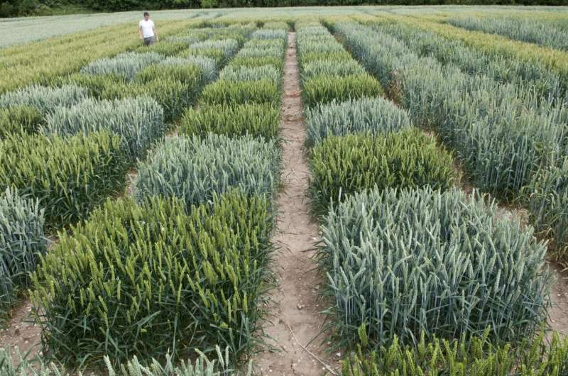 Novel haplotype-led approach to increase the precision of wheat breeding