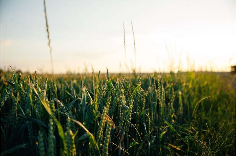 oat crops
