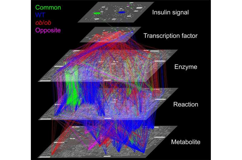 Obesity changes cell response to glucose, uses slower metabolic path in mouse liver