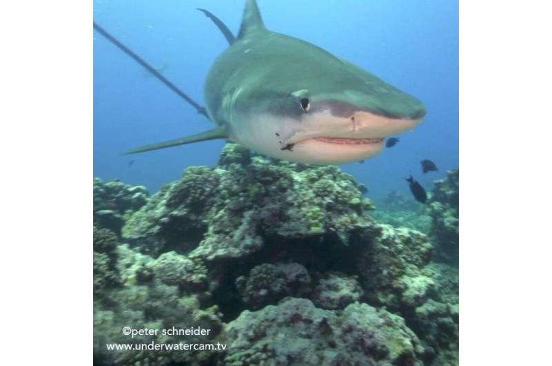 Old fishing hooks are severe hazards for sharks